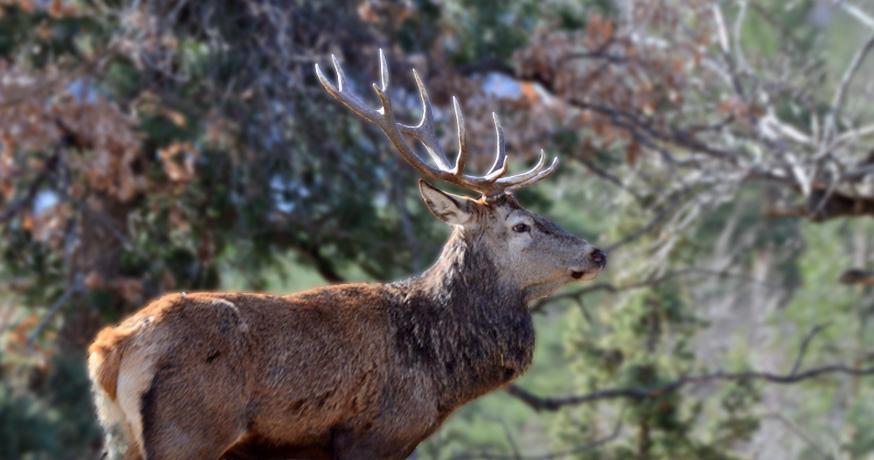 Hunting Area Nidze - Le Cerf élaphe (Cervus Elaphus)