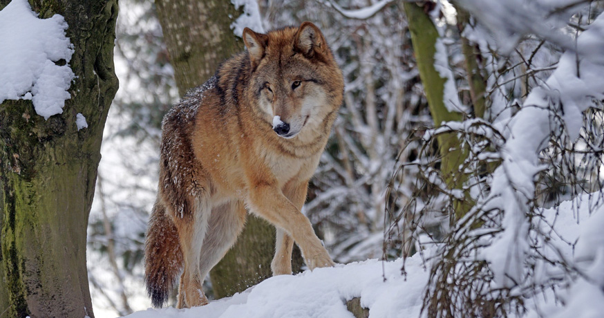 Hunting Area Nidze - Wolf